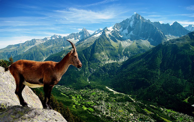 Chamois, above the Chamonix valley