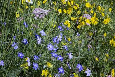 Alpine wild Flowers