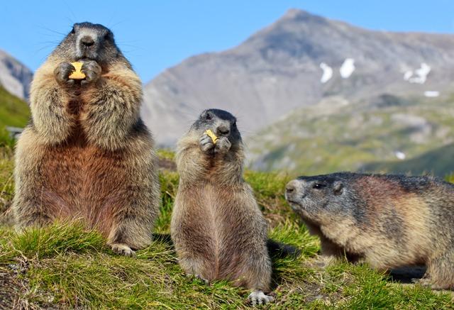 marmot mont blanc